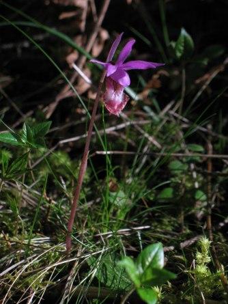 Calypso orchid, Calypso bulbosa