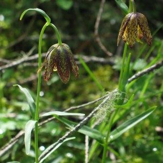 Chocolate lily, Fritillaria_ anceolata