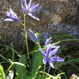 Camas lily, Camassia leichtlinii