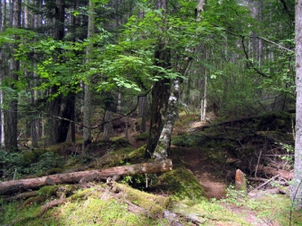 Rocky Mountian maple on Three Cedars Trail